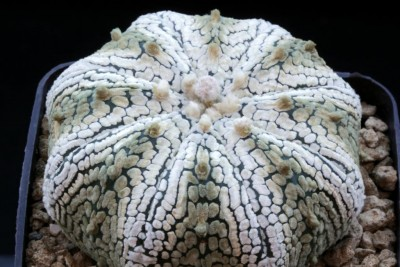 034Astrophytum_''Superkabuto''_star shape type_©M.S.2014 (Large).JPG
