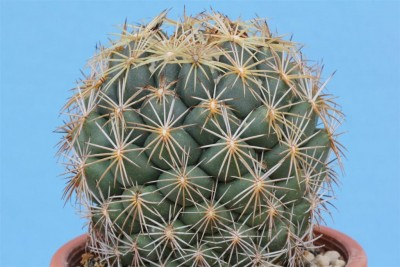 001Coryphantha_retusa_©M.S_2014 (Large).JPG