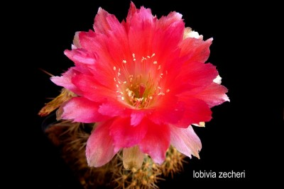 lobivia zecheri 1 (Copia).JPG