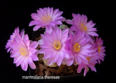 mammillaria theresae (2) (Copia).JPG