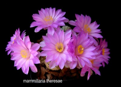 mammillaria theresae (Copia).JPG
