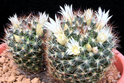 061Mammillaria_picta_BZ_29_©MS.2018 (Large).JPG