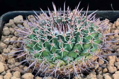 013Mammillaria_polygona_©MS.2018 (Large).JPG